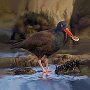 Catcher Paintings - Black Oyster Catcher by David Wagner