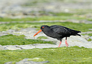 Oystercatcher Framed Prints - Black Oystercatcher Framed Print by David Tipling