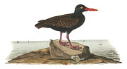 Shorebird Paintings - Black Oystercatcher by John James Audubon