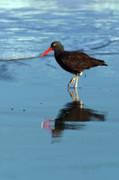 Oystercatcher Framed Prints - Black Oystercatcher Framed Print by Randall Ingalls
