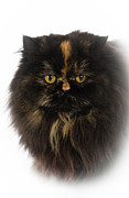 Focus On Foreground Art - Black Persian by www.WM ArtPhoto.se
