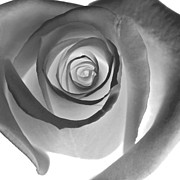 Black Rose Prints - Black Petals Print by Glennis Siverson