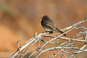 Phoebe Prints - Black Phoebe . 7D11008 Print by Wingsdomain Art and Photography