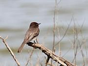 Phoebe Prints - Black Phoebe Print by Wingsdomain Art and Photography