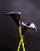 Lilies Posters - Black Purple Calla Lilies # 1 - Macro Flowers Fine Art Photography Poster by Artecco Fine Art Photography - Photograph by Nadja Drieling