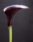 Lilies Posters - Black Purple Calla Lilies # 2 - Macro Flowers Fine Art Photography Poster by Artecco Fine Art Photography - Photograph by Nadja Drieling