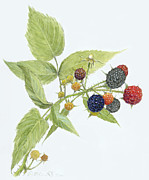 Fruit Drawings Posters - Black Raspberries Poster by Scott Bennett