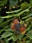 Raspberry Photo Originals - Black Raspberry Dream by William Fields