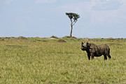 Rhinoceros Posters - Black Rhino in the Masai Mara Poster by Marion McCristall