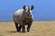 Rhinoceros Framed Prints - Black Rhino Framed Print by Munib Chaudry