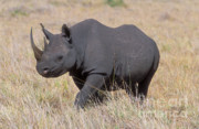 Rhinoceros Posters - Black Rhino on the Masai Mara Poster by Sandra Bronstein