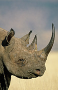 Rhinoceros Posters - Black Rhinoceros Diceros Bicornis Close Poster by Winfried Wisniewski