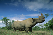 Critically Endangered Species Posters - Black Rhinoceros Diceros Bicornis Poster by Ferrero-Labat