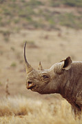 Rhinos Posters - Black Rhinoceros Diceros Bicornis Male Poster by Gerry Ellis
