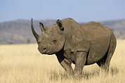 Rhinos Posters - Black Rhinoceros Diceros Bicornis Poster by Winfried Wisniewski