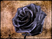 Beach Roses Posters - Black Rose Eternal   Poster by David Dehner