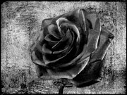 Beach Roses Posters - Black Rose Eternal  BW Poster by David Dehner