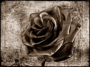 Beach Roses Posters - Black Rose Eternal  S Poster by David Dehner