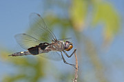 Dragonflies Art - Black Saddlebags Dragonfly by Bonnie Barry