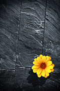 Rustic Metal Prints - Black Schist Flower Metal Print by Carlos Caetano