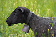 Necklace Photos - Black sheep by Mats Silvan