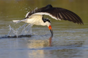 Black Skimmer Prints - Black Skimmer Print by Janet Fikar