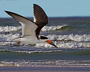 Black Skimmer Prints - Black Skimmer Print by Larry Linton