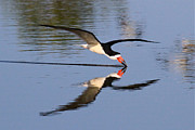 Black Skimmer Prints - Black Skimmer Print by Paul Marto