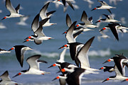 Seabirds Posters - Black Skimmers Flock Poster by Clarence Holmes