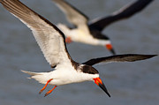 Black Skimmer Prints - Black Skimmers Flying Print by Clarence Holmes