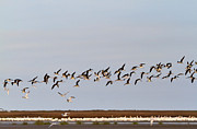 Black Skimmer Prints - Black Skimmers in Flight Print by Louise Heusinkveld
