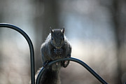 Critter Photos - Black Squirrel  by Karol  Livote