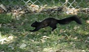 Running Pyrography - Black Squirrl on Run by Yumi Johnson