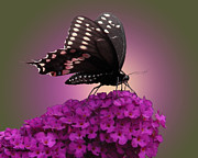 Black Swallowtail Prints - Black Swallowtail 1 Print by Torie Tiffany