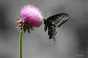 Susan Stevens Crosby - Black Swallowtail and...