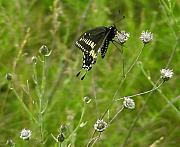 Black Swallowtail Prints - Black Swallowtail at Rest Print by Thomas Young