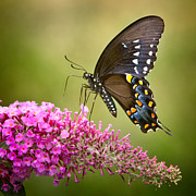 Black Swallowtail Prints - Black Swallowtail Print by Bill  Wakeley