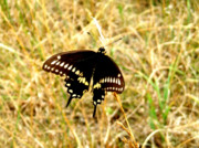 Bamhs Blair - Black Swallowtail...