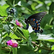 Butterfly On Flower Posters - Black Swallowtail Butterfly Poster by Sandy Keeton