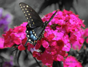 Fuscia Posters - Black Swallowtail Poster by DigiArt Diaries by Vicky Browning