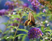 Black Swallowtail Prints - Black Swallowtail Glow Print by Edward Sobuta