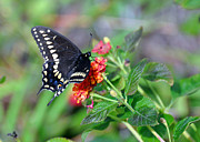 Kay Lovingood Art - Black Swallowtail by Kay Lovingood