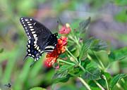 Kay Lovingood - Black Swallowtail