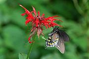 Balm Prints - Black Swallowtail on Bee Balm Print by Alan Lenk