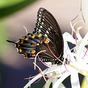 Black Swallowtail Prints - Black Swallowtail on String Lily Square Print by Carol Groenen