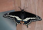 Black Swallowtail Prints - Black Swallowtail Print by Randy Bodkins
