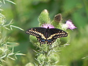 Sandy Owens - Black Swallowtail