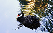Selling Photos Buying Photos Online Prints - Black Swan Print by Benny  Woodoo