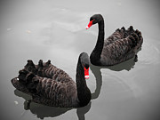 Two Animals Art - Black Swan by Bert Kaufmann Photography