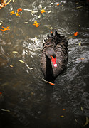 Wet Fly Prints - Black swan Print by Emanuel Tanjala